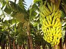 El plátano: remedio ideal contra la depresión
